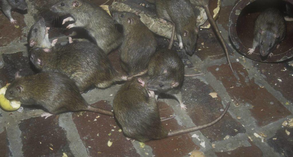 уничтожение крыс в Таганроге